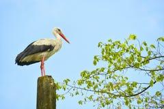 Cigogne d'oiseau Photos libres de droits