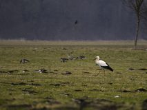 Cigogne dans la campagne Photo stock