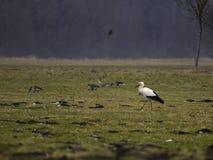 Cigogne dans la campagne Photo stock