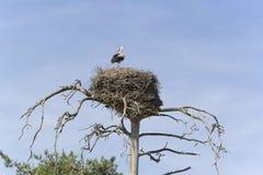 Cigogne dans le nid photographie stock libre de droits