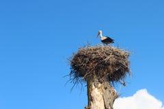 Cigogne dans le nid pendant l'été Image libre de droits