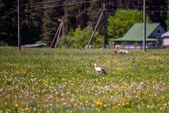 Cigogne dans le pré rural photographie stock libre de droits