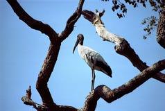 Cigogne de Jabiru Photos libres de droits