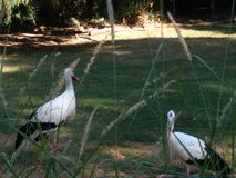 Cigogne de la Normandie photos libres de droits