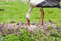 Cigogne de mère alimentant ses jeunes Photos libres de droits