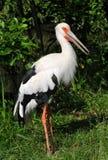 Cigogne de Maguari photo libre de droits