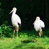 Cigogne de Maguari Images stock