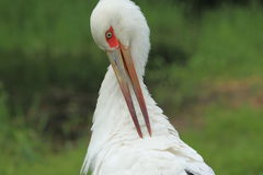 Cigogne de Maguari image stock