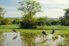 Cigogne de marabout Photos stock
