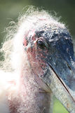 Cigogne de marabout photos libres de droits