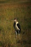 Cigogne de marabout images libres de droits