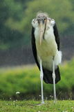 Cigogne de marabout Photo libre de droits