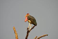 Cigogne de marabout Photo stock