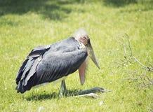 Cigogne de marabout Photographie stock libre de droits