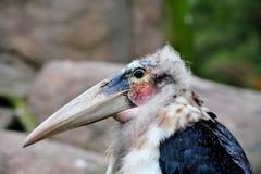 Cigogne de marabout Images stock