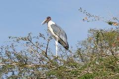 Cigogne de marabout, Awassa, Ethiopie, Afrique Image stock