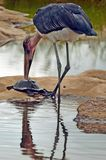 Cigogne de marabout (crumeniferus de Leptoptilos) en parc national de Kruger Photographie stock