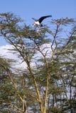 Cigogne de marabout d'emboîtement Images stock