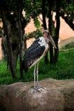 Cigogne de marabout d'oiseau Photos libres de droits