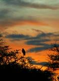 Cigogne de marabout dormant sur le branchement d'arbre Image stock