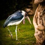 Cigogne de marabout, Leptoptilos Crumenifer Photographie stock libre de droits