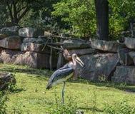 Cigogne de marabout posant en parc, Allemagne Image libre de droits