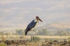 Cigogne de marabout près d'assèche en Ethiopie photographie stock