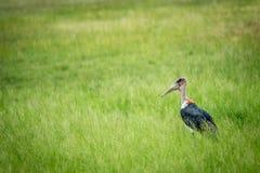 Cigogne de marabout se tenant dans la haute herbe Images libres de droits