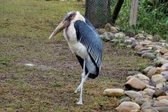 Cigogne de marabout se tenant sur une jambe Photographie stock libre de droits