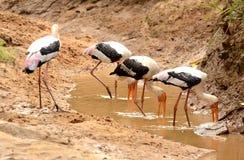 Cigogne de Marabu Photo stock