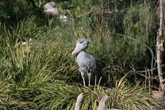 Cigogne de Shoebill (rex de Balaeniceps) Photo stock
