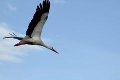 Cigogne de vol Photo libre de droits