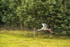 Cigogne de vol Arbre à l'arrière-plan Image stock