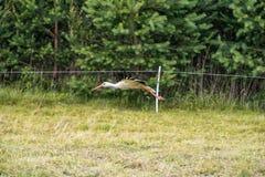 Cigogne de vol Arbre à l'arrière-plan Images stock