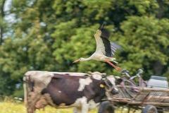 Cigogne de vol au-dessus de la vache et du cheval Trouble en raison de la cuisson Photos libres de droits