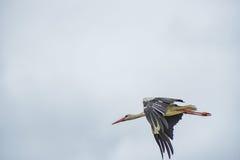 Cigogne de vol Ciel bleu nuageux à l'arrière-plan Image libre de droits