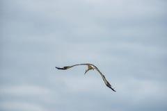 Cigogne de vol Ciel bleu nuageux à l'arrière-plan Photographie stock