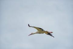 Cigogne de vol Ciel bleu nuageux à l'arrière-plan Images libres de droits
