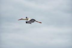 Cigogne de vol Ciel bleu nuageux à l'arrière-plan Photographie stock libre de droits