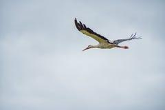 Cigogne de vol Ciel bleu nuageux à l'arrière-plan Photos stock