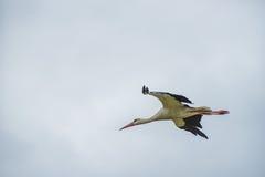 Cigogne de vol Ciel bleu nuageux à l'arrière-plan Image stock