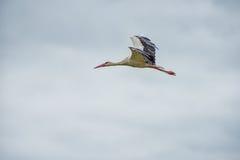 Cigogne de vol Ciel bleu nuageux à l'arrière-plan Photo libre de droits