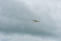 Cigogne de vol Ciel bleu nuageux Photo stock