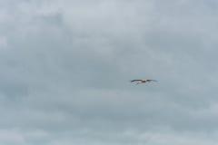 Cigogne de vol Ciel bleu nuageux Images stock