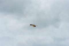 Cigogne de vol Ciel bleu nuageux Image libre de droits