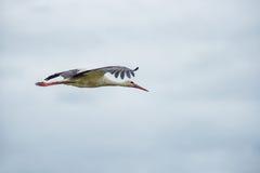 Cigogne de vol Ciel bleu nuageux Photos libres de droits
