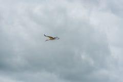 Cigogne de vol Ciel bleu nuageux Photographie stock