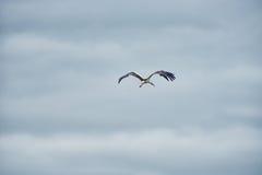 Cigogne de vol Ciel bleu nuageux Photographie stock libre de droits