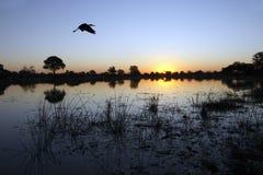Cigogne de Yellowbilled - delta d'Okavango Photographie stock libre de droits
