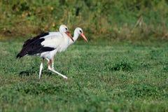 Cigogne deux blanche sur le champ vert recherchant la nourriture image libre de droits
